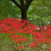 秋の訪れー彼岸花