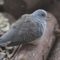 小さくてきれいな可愛い鳩だった、ウスユキバト。