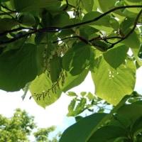 萩の里のハクウンボク(白雲木)