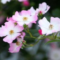 お団子になって咲いているアイスバーグ