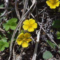 三つ峠の植物