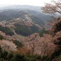 吉野山🌸桜