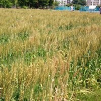 5月20日農業体験 さつまいもの苗植えと玉ねぎの収穫