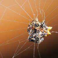 2016  沖縄探訪記 チブサトゲグモ