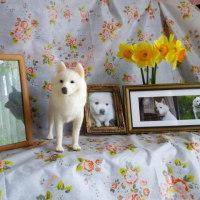 羊毛フェルト 白犬のハッピーちゃんおうちに到着♬