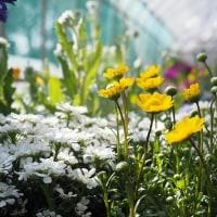 長居植物園「早春の草花展」から その1