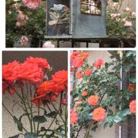 今日の薔薇5️⃣