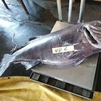 3月29日(水)キンメ釣果