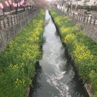 妻と真間川散歩