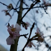十月桜 12.06