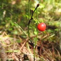 高ボッチ高原・鉢伏山で最近見る事の出来る実・種 サルマメ(猿豆)