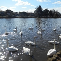 白鳥を見に公園へ