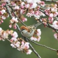 今年もやって来た、桜にニュウナイスズメ撮り。