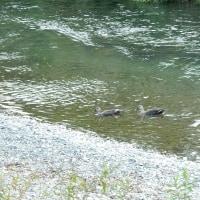 河原のアオサギ、カモ、不明な花