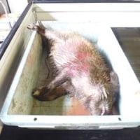 5月25日有害鳥獣捕獲「猪」