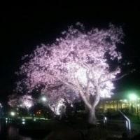 夜桜見物、その2