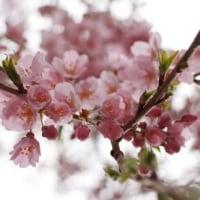 2017年4月9日 桜開花