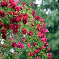 鶴舞公園の薔薇(Ⅱ)