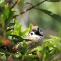小山の野鳥(すずめ)