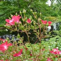 イングリッシュガーデンのバラ。