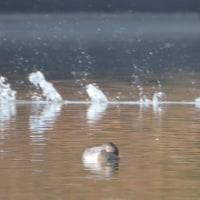 播州ため池(鳥)散策