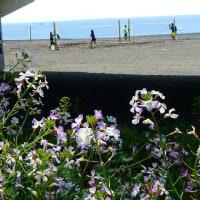 『花散歩』 浜辺の花