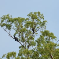 《野生のアカオクロオウム》オーストラリアのインコ・オウム ♯2