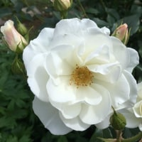 ミニつる薔薇が咲いてきたよ