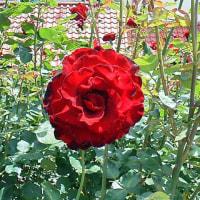 紅薔薇の翳