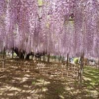 玉敷神社の大藤