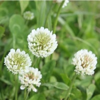 春の野の花~シロツメクサ