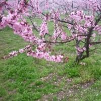 桃の花・菜の花