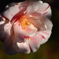 羽島椿園の椿
