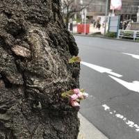桜が芽吹いていました。(たまプラーザ駅前)