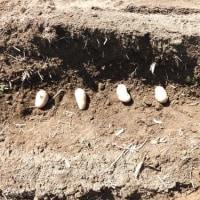 ジャガ芽挿し栽培の種イモ植え付け