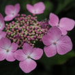 ★塩尻市興龍寺に咲く7月の紫陽花 2017