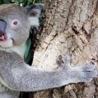 コアラが東山動植物園へ