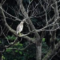 今日の鳥見:アカガシラサギ