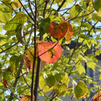 庭の紅黄葉2016-1~ヤマボウシ1(サトミと源平)