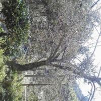 卯乃木の桜はもう少し