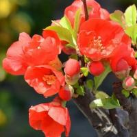 鉢植のボケ(1)~一重赤花