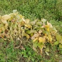 多古染井の水田跡地での大豆栽培