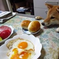 柴犬ゆず1歳!& 1歳動画
