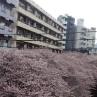 中目黒の桜、満開に