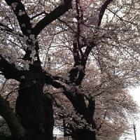 ポエム155 『JAXA通りの桜』