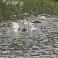 小野越の合鴨