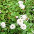 アオスジアゲハの幼虫と姫岩垂草