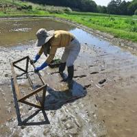田植え / 2017 お米作り