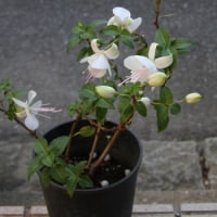 今、咲いているお花です。