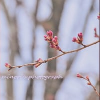 3日前の桜
